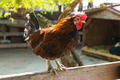 在篱芭的雄鸡 库存图片