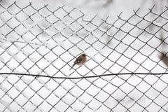 在篱芭的鸟在冬天 图库摄影