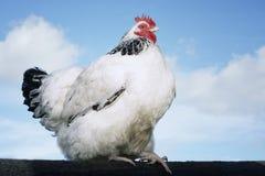 在篱芭的鸡反对天空 免版税库存图片