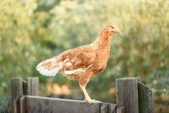 在篱芭的鸡在农场 库存图片