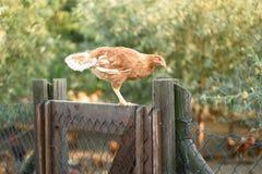 在篱芭的鸡在农场 免版税库存照片