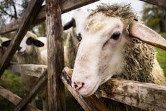 在篱芭的绵羊 免版税库存照片