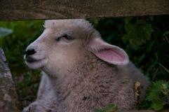在篱芭的绵羊 免版税库存图片
