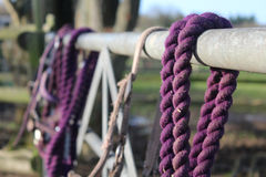 在篱芭的紫色马大头钉 免版税库存照片