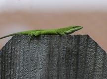 在篱芭的绿色Anole 库存图片