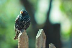 在篱芭的黑鸟 库存图片