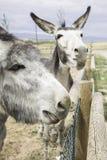 在篱芭的驴 库存图片