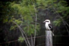 在篱芭的Kookaburra 库存图片