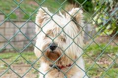 在篱芭网后的白色狗 免版税库存照片
