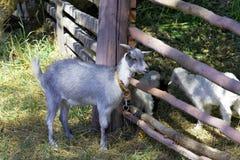 在篱芭附近的幼小山羊 库存照片