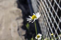 在篱芭附近的春黄菊 库存图片