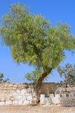 在篱芭附近的树在被打赌的Jimal贾迈勒天主教徒修道院 免版税库存照片