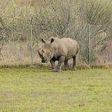 在篱芭附近的犀牛在运动场 库存图片