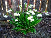 在篱芭附近的snowdrops春天 这朵精美花象征春天初期  库存图片