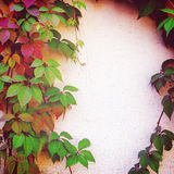 在篱芭-葡萄酒作用的红色和绿色秋叶 免版税库存图片