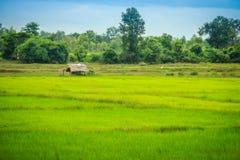 在米农场的一个平安的村庄有绿色背景 Tranquill 库存图片