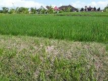 在米领域中间的绿色米小牧场 库存图片