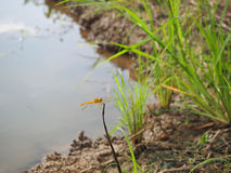 在米领域旁边池塘的蜻蜓  免版税库存照片