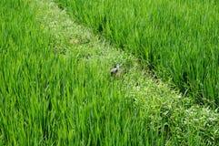 在米领域的一只鸭子 免版税库存照片