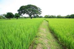 在米领域的一棵树 库存照片