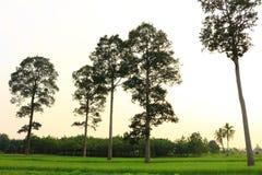 在米领域的大树 免版税库存图片