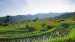 在米领域的早晨在tasikmalaya 免版税库存照片