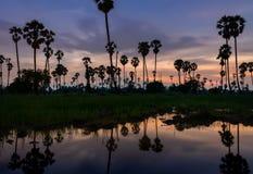 在米领域的桄榔树 免版税库存照片