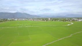 在米领域的空中被射击的鸟群飞行在山风景 米种植园在亚洲村庄 种田和 影视素材