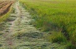 在米领域的草路 库存图片