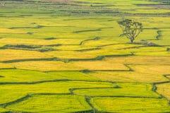在米领域的颜色的单独树和Th mountai在DonDuong- LamDong-越南 图库摄影