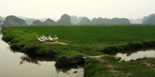 在米领域的鸭子 免版税库存照片