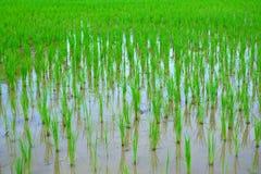 在米领域的稻米用水 库存照片