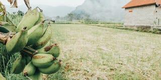 在米领域边缘的香蕉树-从巴厘岛印度尼西亚的图象 库存图片