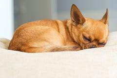 在米黄背景的睡觉红色奇瓦瓦狗狗 库存照片