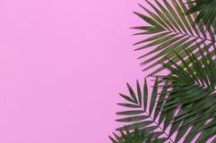 在粉红彩笔背景的热带棕榈叶 r 夏天背景,自然 创造性最小 库存图片