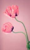 在粉红背景的两朵桃红色鸦片花 库存照片