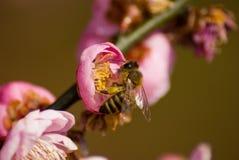 在粉红色的蜂 免版税库存图片
