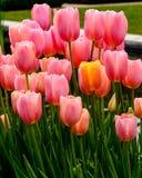 在粉红色的郁金香 免版税库存照片