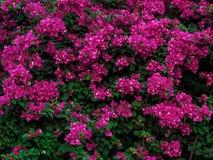 在粉色的美丽的开花的九重葛花与foliages 免版税库存照片