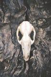 在粗砺的吠声的袋鼠头骨 免版税图库摄影