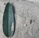 在粗砺的沙子的一片绿色芒果叶子 免版税库存照片