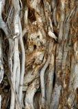 在粗糙的树枝之中的鸠 库存图片