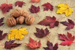 在粗麻布和下落的秋叶的背景的核桃 秋天背景特写镜头上色常春藤叶子橙红 免版税库存照片