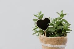 在粗麻布罐的薄荷的植物草本 免版税图库摄影