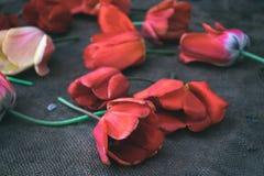 在粗麻布背景的郁金香花 库存图片