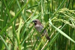 在粮食作物的鳞状breasted Munia鸟 免版税库存照片
