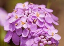 在精美浅紫色的颜色的Candytuft花 免版税库存图片