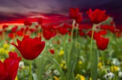 在日出的红色郁金香 免版税库存照片