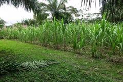 在糖厂附近的甘蔗领域 库存图片