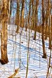 在糖槭灌木的春天在安大略 免版税库存图片
